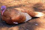 A Turkey Lounging Out At Churchill Farm - Phillip Island, Australia