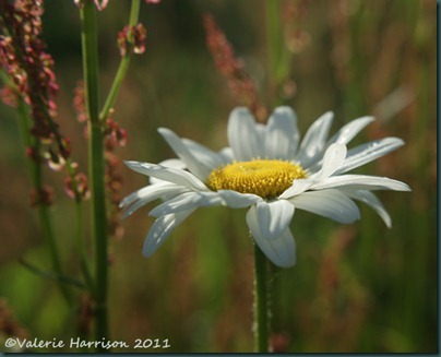 33 ox-eye-daisy