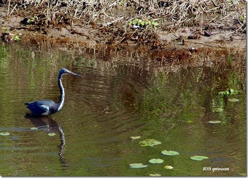 Myakka blue heron 103