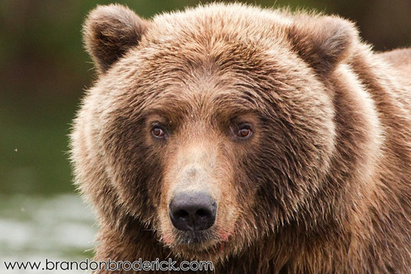 The Cross-Eyed Grizzly Bear of Katmai