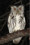 Eastern Screech Owl