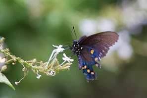 Pipevine Swallowtail NBC