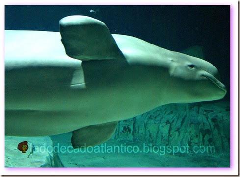 Foto de uma das baleias belugas do oceanário de Valência na Espanha