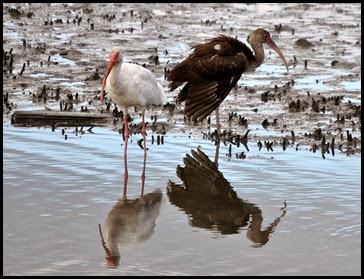 Birds - Adult and Juvenile Ibis