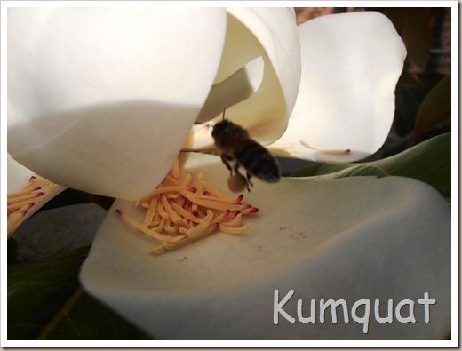 magnolio 4