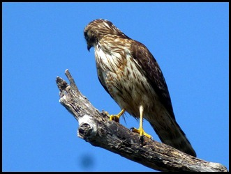 09c2 - Guy Bradley Path - Young Red Shoulder Hawk