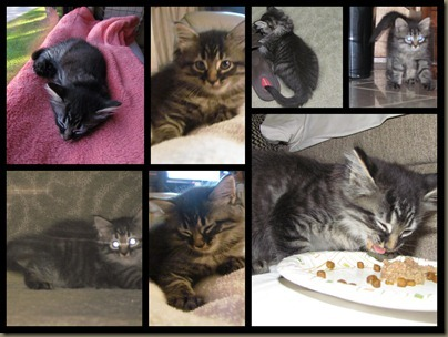 Baxter kitten collage