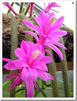 450px-Disocactus_flagelliformis1MABJ