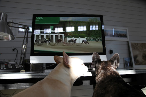 Oh Franny, who could forget this one, about the Frenchie racing against greyhounds?  It's kind of making fun of our breed with our stout bodies and short legs.  We don't much look like the racing type!