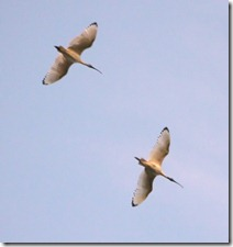 Pair of Australian White Ibis (Threskionrnis molucca)