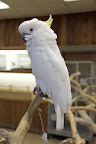 The Sulphur Crested Cockatoo hails from Australia and New Guinea.  They have very long lives - some cockatoos have lived well over 75 years!