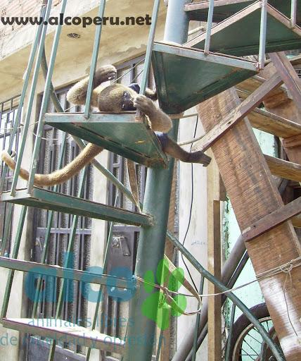 Monita Lanuda gris amarrada a una escalera