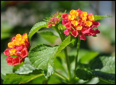 lantana5
