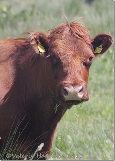 17-brown-cow