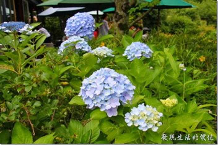 日本北九州-金鱗湖。每年的六月份事繡球花的花季,金鱗湖的路上有很多的繡球花栽種。