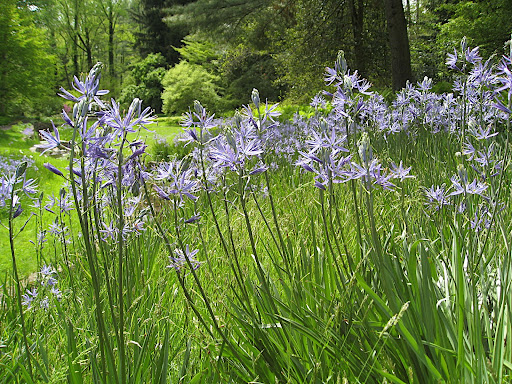The starry flowers of camassia - you can't really tell from these photos, but these are about 3' tall, so they're quite dramatic.