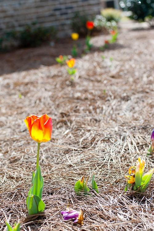 Tulips blog-3