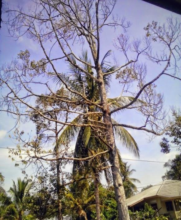 pokok durian mati