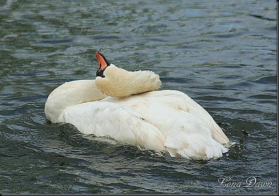 YP_Swan_Twist