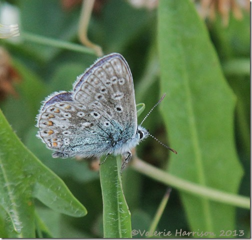 14-common-blue