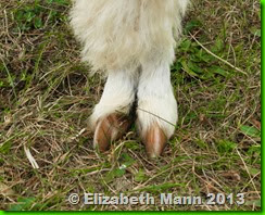 44-alpaca foot