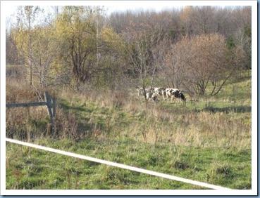 20111105_cows_002
