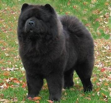 chow_chow_negro