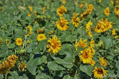 Sunflowers up north