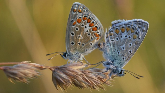 The Common Blue butterfly (Polyommatus icarus). Grassland butterflies have declined dramatically between 1990 and 2011. This has been caused by intensifying agriculture and a failure to properly manage grassland ecosystems, according to a July 2013 report from the European Environment Agency (EEA). Photo: Dominik Hofer