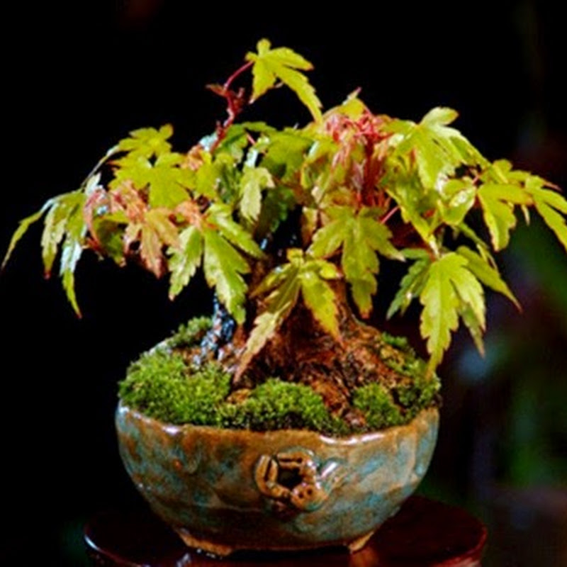 The Art of Bonsai Project: Gallery Shohin Bonsai.