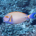 Eyestripe Surgeonfish - Photo (c) DavidR.808, some rights reserved (CC BY-NC-SA)