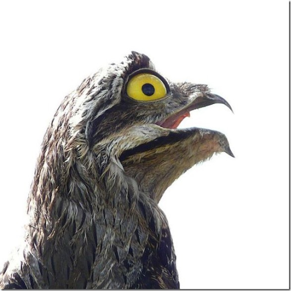 potoo-birds-eyes-5