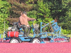 cranberry harvest 9.29.13 Richard on wet picker