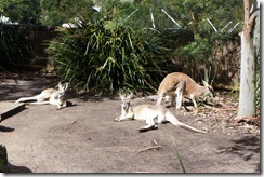 Red Kangaroos, Taronga Zoo