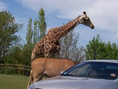 2008.04.26-009 girafe