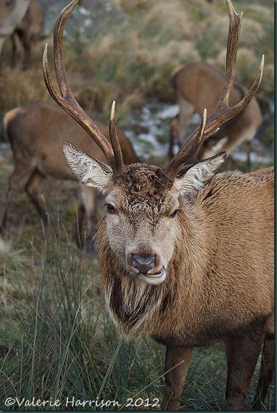 38-red-deer