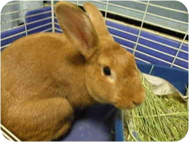 Cindy also offers the useful advice that a parent must view getting a bunny for their child as if they are adopting the rabbit themselves. They are ultimately responsible for assuring the animal's proper care. Amber is a young purebred female bun sure to make her lucky adopter proud!
