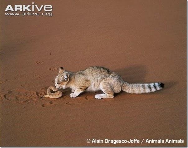 gato arena (4)