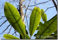 SueReno_RhododendronLeaves