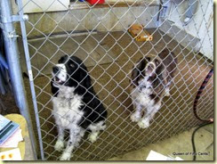 Springer spaniels Chip & Belle