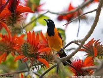 Amazing Pictures of Animals, Photo, Nature, Incredibel, Funny, Zoo, Venezuelan Troupial, Icterus icterus, Bird, Aves, Alex (17)