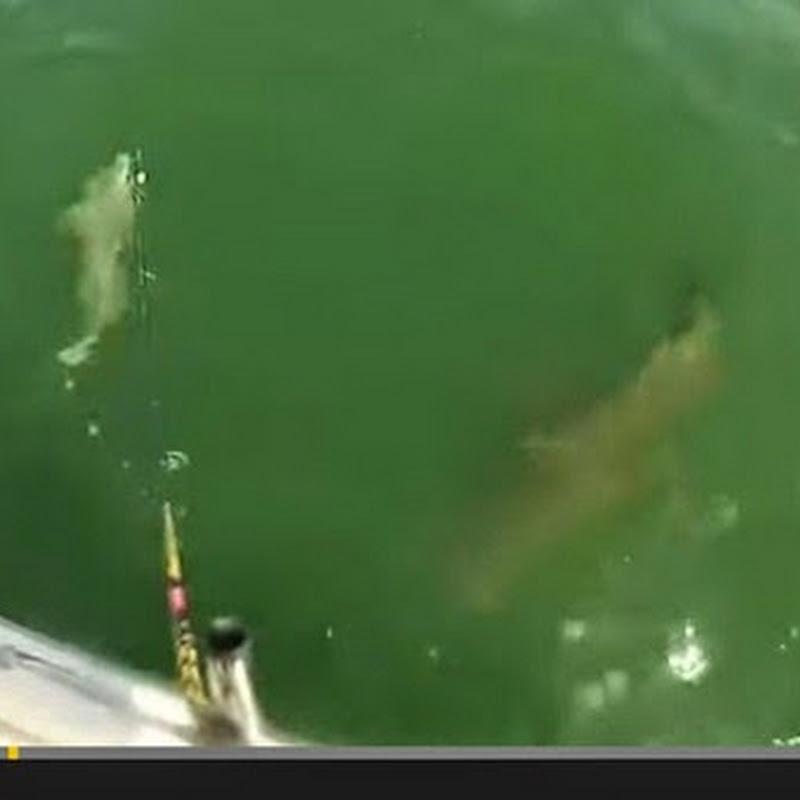 Σφυρίδα αρπαζει καρχαρια