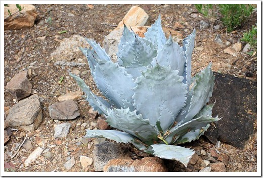 120728_ArizonaSonoraDesertMuseum_Agave-colorata_light