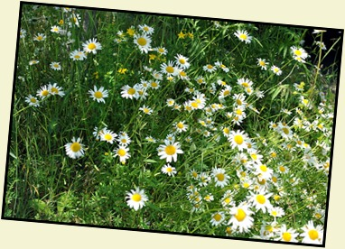 02b2 - hiking Ocean Path - Flowers along the path