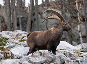Amazing Pictures of Animals, Photo, Nature, Incredibel, Funny, Zoo, Alpine ibex, Capra ibex, Mammalia, Alex (13)