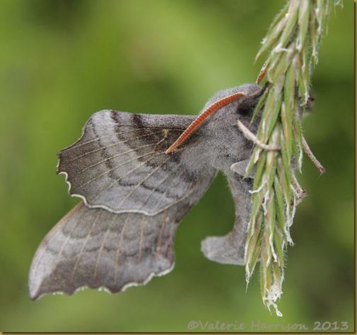 poplar-hawkmoth