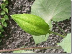 Hibiscus de Guatemala (6)