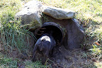 Hello?  Are there any foxes hiding in this drainage pipe?  Sharkey, I don't see a thing in there!