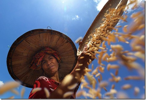 smithsonian-photo-contest-people-indonesia-farmer-harvest-maternity-almsyah-rauf