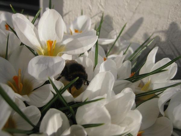 2012-03-27 Terrassen, crocus (6)
